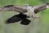 Osprey - Crow - Interspecific Interactions: American Crow harassing Osprey