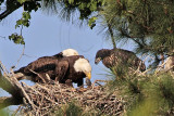 Bald Eagles - Baytown Nest April 21, 2010