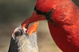 Northern Cardinal courtship feeding – April 25, 2010