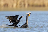 Neotropic - Double-crested Cormorant - Interspecific Interactions: kleptoparasitism