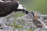 Osprey - feeding chicks (2.5 weeks old)