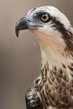 Eastern Osprey Pandion cristatus