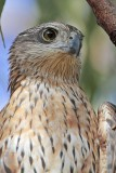 Red Goshawk - Erythrotriorchis radiatus - NT