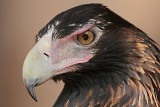Wedge-tailed - Eagle Aquila audax - NT