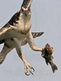 Osprey - Flights with fish