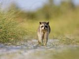 Osprey - Natural Enemies - Raccoon