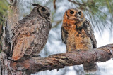 Osprey - Natural Enemies - Great Horned Owl