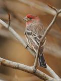 House Finch, male DPP_08650 copy.jpg