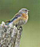 Western Bluebird, female, Yakima Bluebird Trail DPP_16017278 copy.jpg