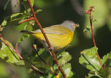 Nashville Warbler, male, aphid on tounge, Yakima DPP_10029431 copy.jpg