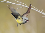 Flycatching Sequence 4/4, moves left-to-right, Western Kingbird DPP_10028186 copy.jpg