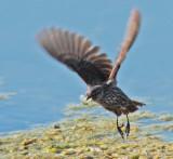 Red-wing or tri-colored blackbird, female DPP_10037231.jpg