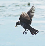 Red-wing or tri-colored blackbird, female DPP_10037422 copy.jpg
