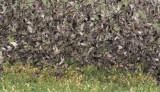 European Starlings DPP_10041986 copy.jpg