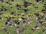 European Starlings DPP_10041987 copy.jpg