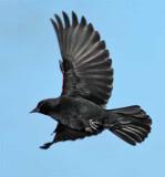 Red-wing Blackbird DPP_1042846 copy.jpg