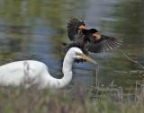 Red-wing Blackbird harasses Egret DPP_16032502 copy.jpg