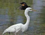 Red-wing Blackbird harasses Egret DPP_16032503 copy.jpg
