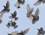 Starlings going different directions _1634202 crop2.jpg