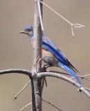 Western Bluebird, male, Little Naches DPP_10034446 net.jpg