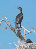 Double Crested Cormorants, Parent with chicks in nest DPP_1034100 copy.jpg