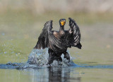 Double Crested Cormorant, Working to get airborne  DPP_1034139 copy.jpg