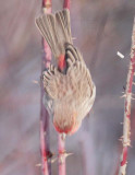 House Finch, male, dropping from rose  DPP_10043250 2 crop.jpg
