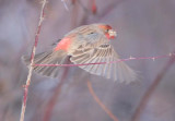 House Finch, male DPP_10043254 copy.jpg