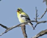 Goldfinch, male, breeding plumage,  DPP_16017707 copy.jpg