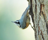 Red-breasted Nuthatch DPP_10039839 copy.jpg