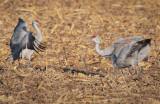 cranes_in_corn