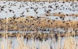 Starlings, Red-winged blackbirds, Yellow-headed blackbirds  4Z0456371004 copy.jpg