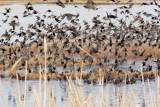 Starlings, Red-winged blackbirds, Yellow-headed blackbirds  4Z0456441004 copy.jpg