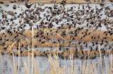 Starlings, Red-winged blackbirds, Yellow-headed blackbirds  4Z0456451004 copy.jpg