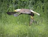 Eagles Feeding