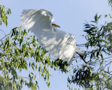 Egrets Flying