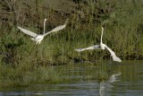 Egrets and Egret Dance