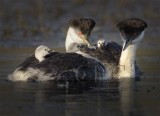 General Grebes