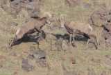 Bighorn Sheep, Mostly Males