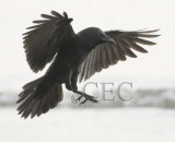 Common Raven   DPP_1005255.jpg