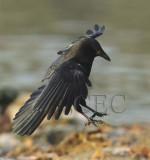 American Crow  DPP_18487b copy.jpg