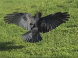 American Crow  DPP_18577nshp copy.jpg
