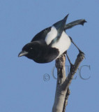 Black-billed Magpie  DPP_21700 copy.jpg