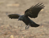 American Crow  WT4P0235 copy.jpg