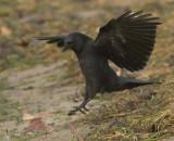 American Crow  WT4P0236 copy.jpg