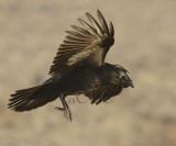 American Crow  WT4P0296 copy.jpg