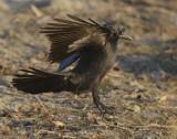 American Crow  WT4P0304 copy.jpg