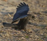 American Crow  WT4P0306 copy.jpg