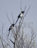 Black-billed Magpies  WT4P79541600 copy.jpg