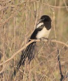 Young Black-biilled Magpie  _Z0527691603.jpg